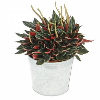 Plante verte - Pépéromia rosso