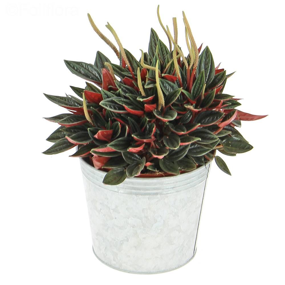 livraison p p romia rosso plante verte foliflora. Black Bedroom Furniture Sets. Home Design Ideas