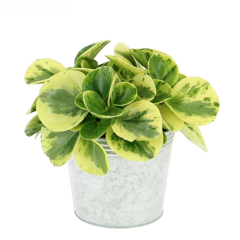 livraison p p romia plante verte foliflora. Black Bedroom Furniture Sets. Home Design Ideas