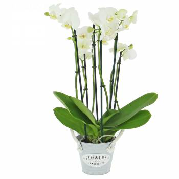 - Phalaenopsis (4 tiges)