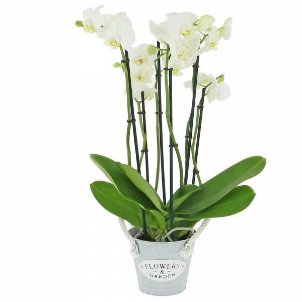 phalaenopsis-5-tiges