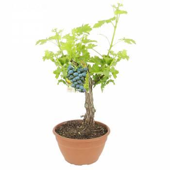 Plante - Un vignoble à domicile
