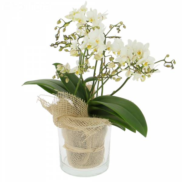 Ravissante Orchidée