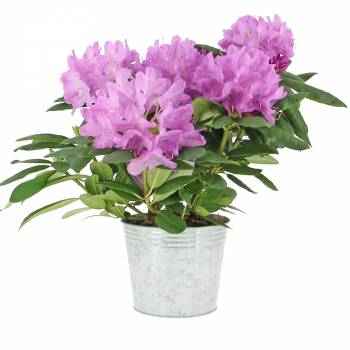 Plante fleurie - Rhododendron