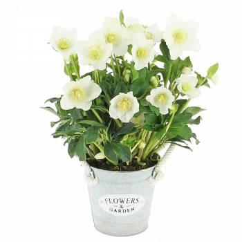 Plante fleurie - Hellébore