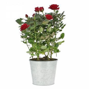 Plante fleurie - Rosier