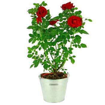 Plante fleurie - Rosier du Jardin