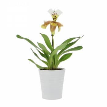 Orchidée - Sabot de Vénus