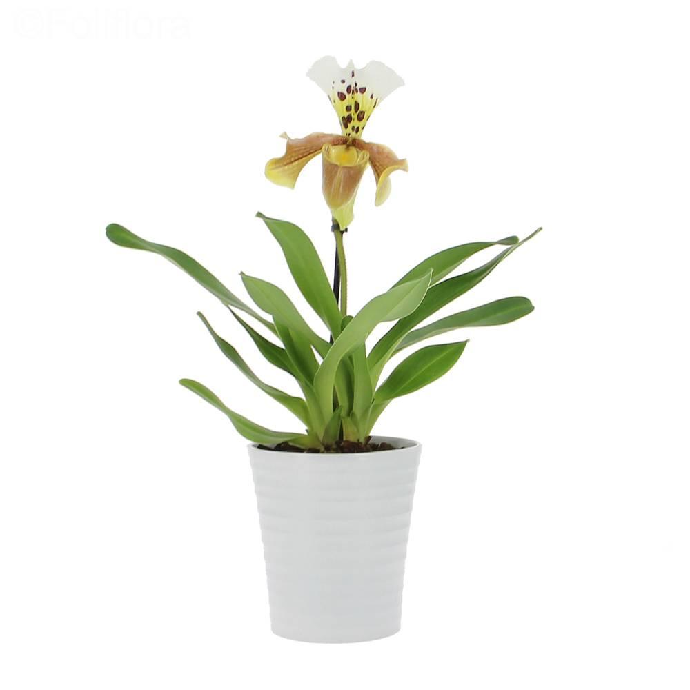 Livraison sabot de v nus orchid e foliflora - Doit on couper les tiges des orchidees ...