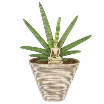 livraison sansevieria avec bouddha plante verte foliflora. Black Bedroom Furniture Sets. Home Design Ideas