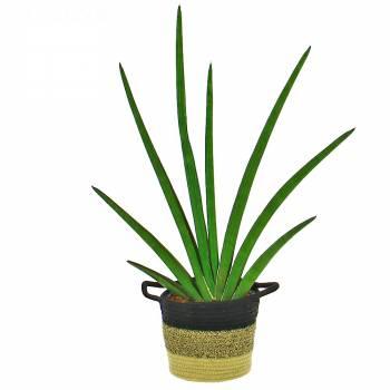 Plante verte - Sanseveria Handshake
