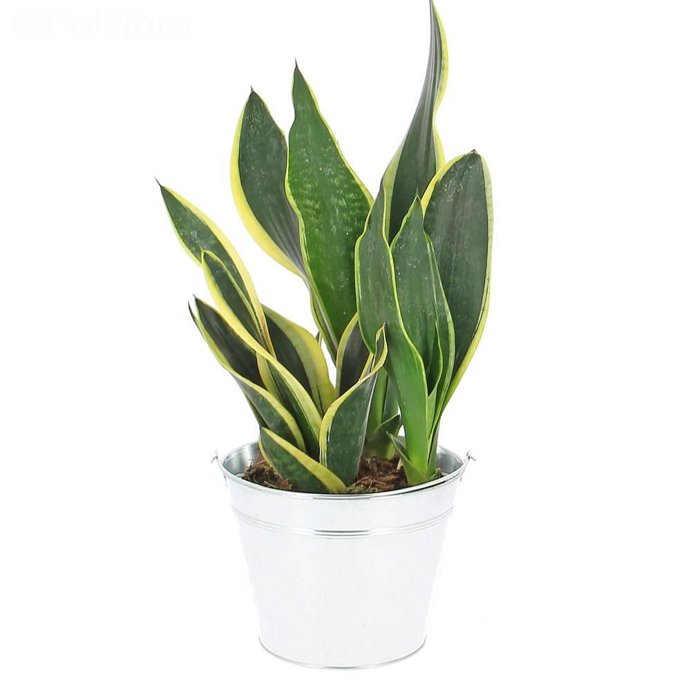 livraison sansevieria plante verte foliflora. Black Bedroom Furniture Sets. Home Design Ideas