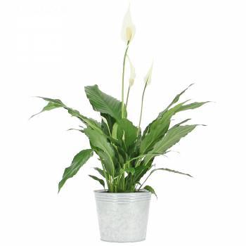 Livraison en moins de 24h : Spathiphyllum