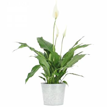 Plante fleurie - Spathiphyllum