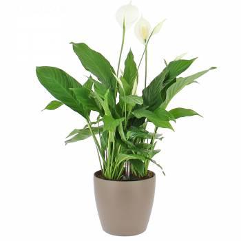 Plante - Spathiphyllum en Bac à réserve d'eau