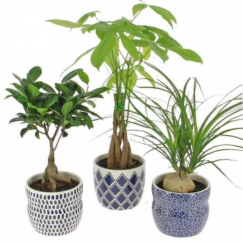 livraison beau trio plante verte foliflora. Black Bedroom Furniture Sets. Home Design Ideas