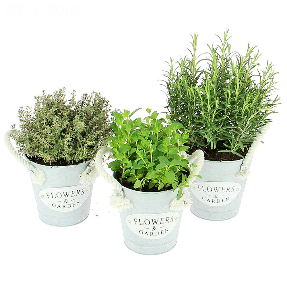 livraison trio de plantes aromatiques plante verte foliflora. Black Bedroom Furniture Sets. Home Design Ideas